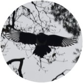 magpieinflight